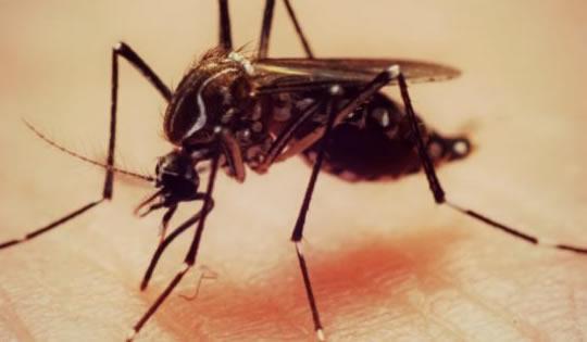 mosquito_aedes