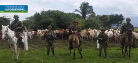 Ejército recuperó ganado hurtado y frustró el robo de 140 semovientes en Arauca